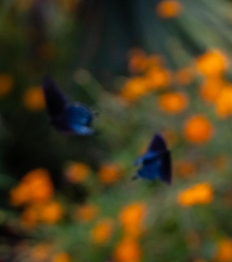 20180907_Butterfly Dreams_2